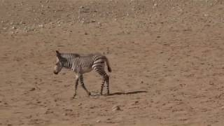 VLOG 20190419 Orphan Baby Zebra getting adopted