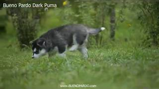 Пума (Bueno Pardo Dark Puma )