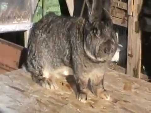 german giant rabbit youtube. Black Bedroom Furniture Sets. Home Design Ideas