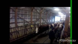 La traite des vaches chez des amis à moi