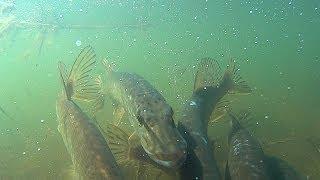 видео: Нерест щуки, spawning pike