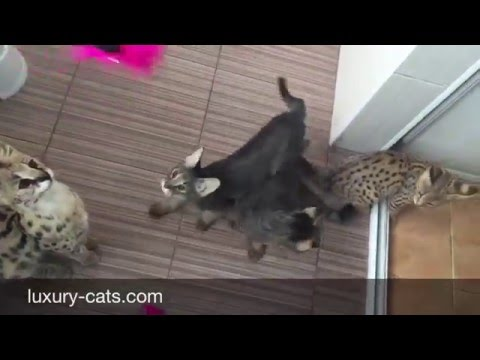 Our cats Savannah f1, Chausie f1 and serval