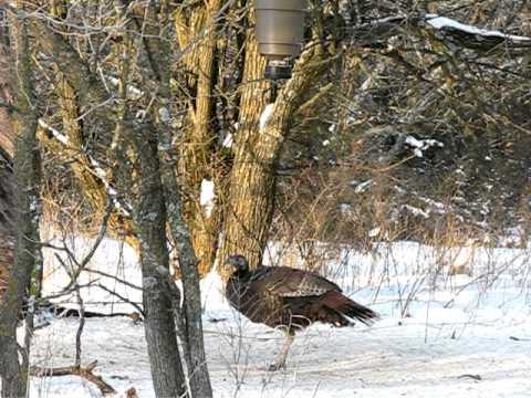Wild Turkey Feeding