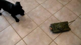 Yorkie Poo Dog Vs Tank