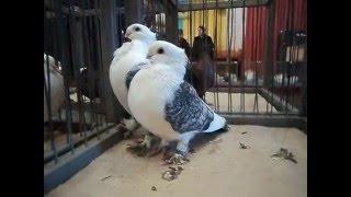 Выставка декоративных голубей 2016 года