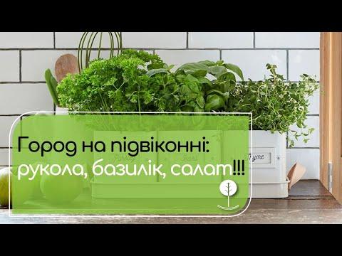 Як вирощувати зелень на підвіконні? Базилік, салат, рукола.