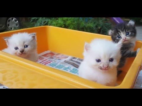 TOPs CLG American Curl kitten : 3 weeks