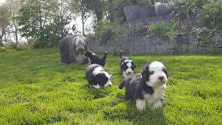 Bearded Collie puppies  4 weeks old, first time outdoors