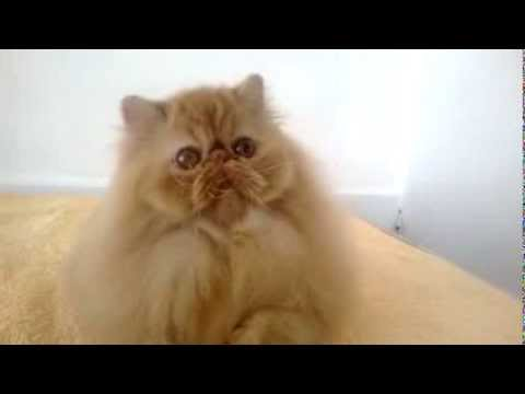 Red tabby female persian cat - YouTube