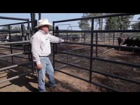 Priefert Cattle Working System Demo