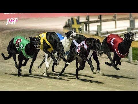 Greyhounds - Dog Race - Track Racing