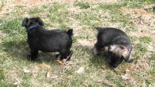 5 Week Old Akc Miniature Schnauzer Puppies Play Outside Concord, North Carolina, Puppies For Sale