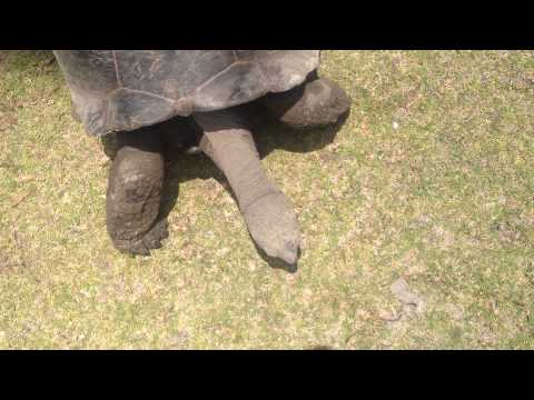 The Seychelles giant tortoise - Curieuse