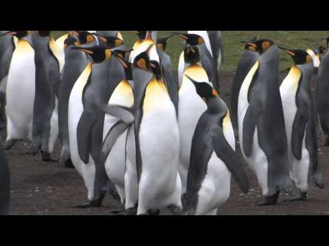 The King Penguins at Volunteer Point.
