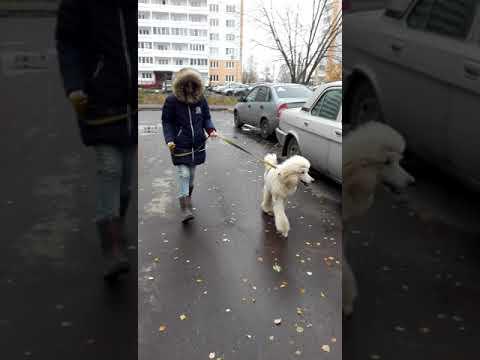 Леггеро Данзатори Рансиман 8 месяцев
