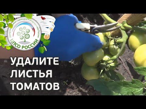 🍅 Формирование томатов в открытом грунте в период сбора урожая. Как прищипывать верхушку томата.