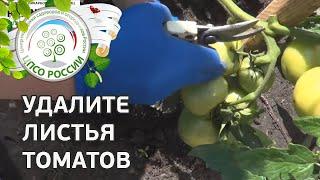 Формирование томатов в открытом грунте в период сбора урожая. Как прищипывать верхушку.(В этом ролике - наглядная инструкция того, как собирать урожай томатов, как формировать растения томата..., 2015-07-24T10:35:47.000Z)