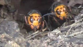 スズメバチ駆除 in 福島市- 刺された山林現場でオオスズメバチ駆除!