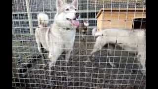 Siberian Husky Dogs At Lee Valley Park Farms