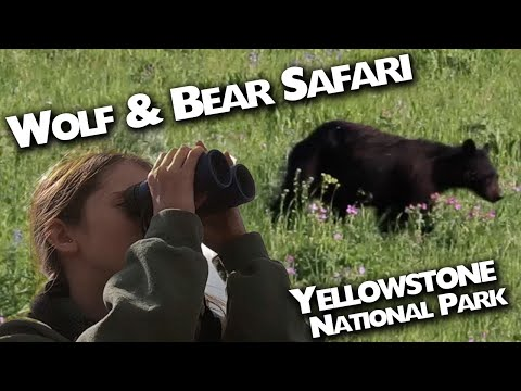 Yellowstone Wolf & Bear Safari :: We found Wolves, Bears and more with Yellowstone Wolf Tracker!