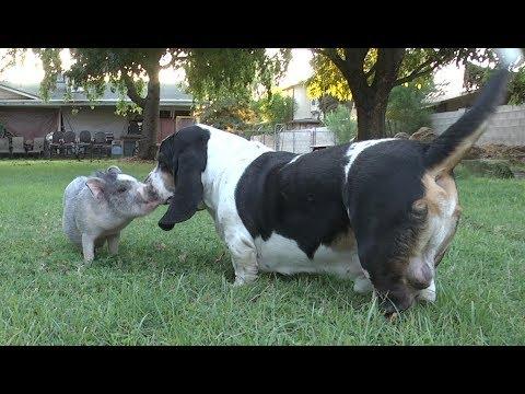 Rescue Pig Meets Basset Hounds!