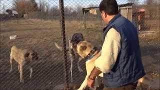 Anadolu Çoban Köpeği BOĞAÇ Anatolian Shepherd Dog Kastamonu/Turkey