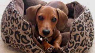 Meet Harley, The Funny Dachshund :-)
