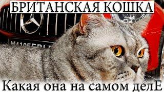 Британские кошки, какие они на самом деле? От мороженного - до крепкого сна. Смешные и пушистые