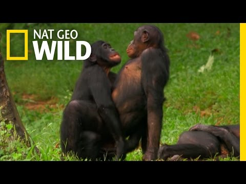 Bonobo Love | Wild Wives of Africa from YouTube · Duration:  2 minutes 41 seconds