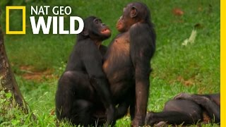 Bonobo Love  Wild Wives of Africa
