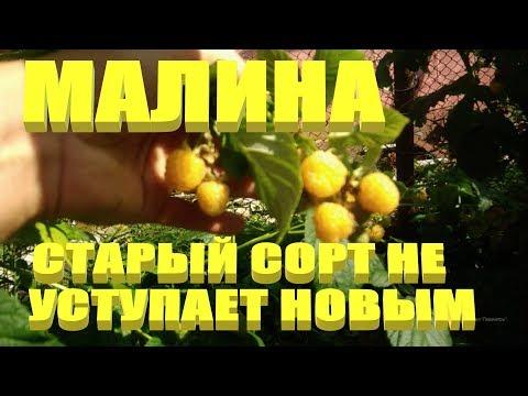МАЛИНА ЖЕЛТАЯ.Старый советский сорт