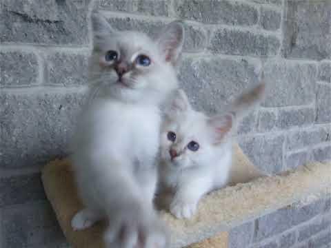 Zanadu Birman kittens
