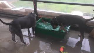 ピットブル,ジャックラッセルテリア 水遊び ジャーキー水没 食べたくて...
