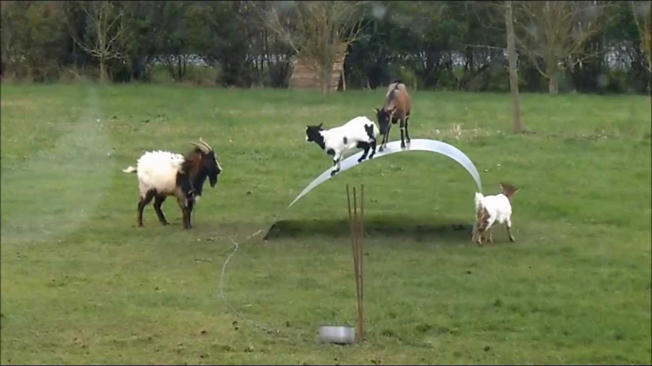 Goats Having Fun With A Metal Ribbon Youtube