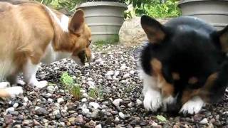 Corgi Power! Sen And Cam Love Eating Cabbage!