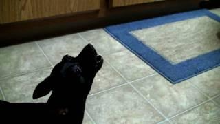 Howling Mini Pinscher