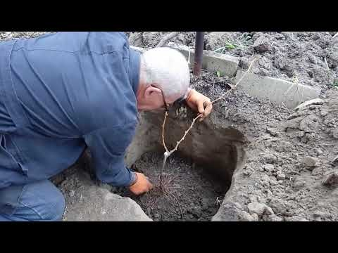 Посадка саженцев винограда на постоянное место жительства осенью