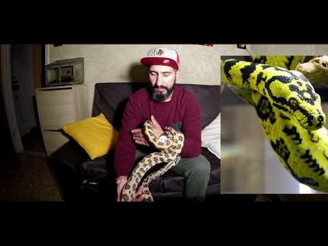 my new snake! Morelia spilota mcdowelli jaguar vlog #10