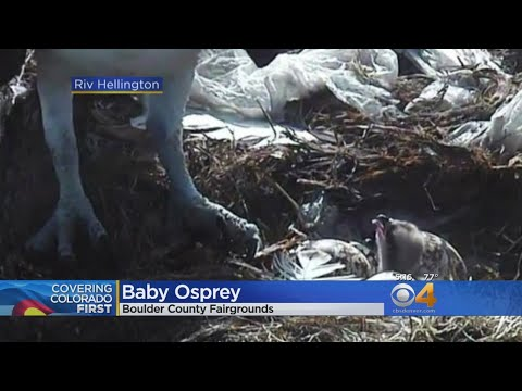 Baby Osprey Hatches At Boulder County Nest