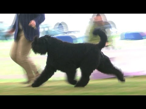 Richmond Dog Show 2016 - Working group - Shortlist