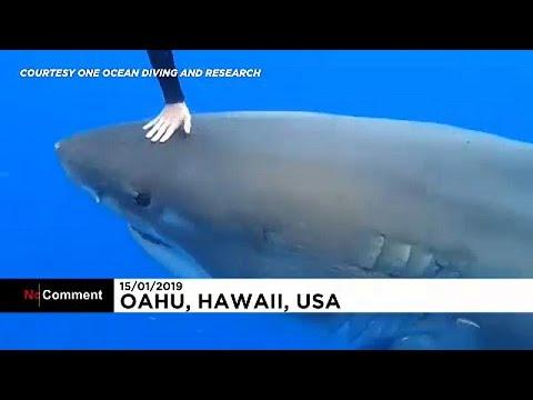 شاهد: فتاة وخطيبها يسبحان مع القرش الأبيض في هاواي  - نشر قبل 52 دقيقة