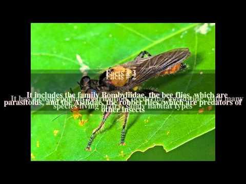 Asiloidea Top # 5 Facts