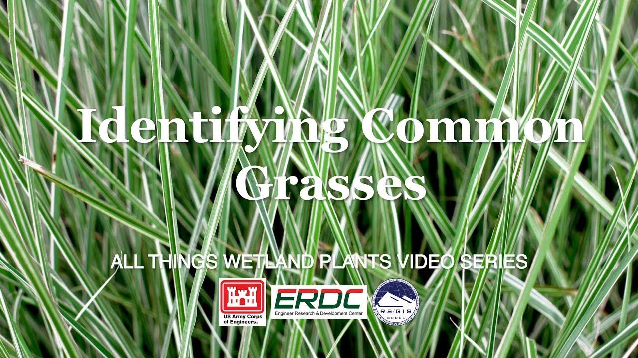 Identifying Common Grasses