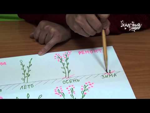 Как определить ремонтантную малину от обычной