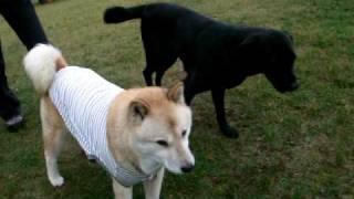 男の子同士のかい(北海道犬)とガクちゃん(黒ラブ)。 お互いに何を考...