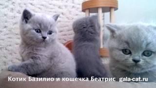 Британские котята рожд.1.дек.2016 из питомника http://gala-cat.ru