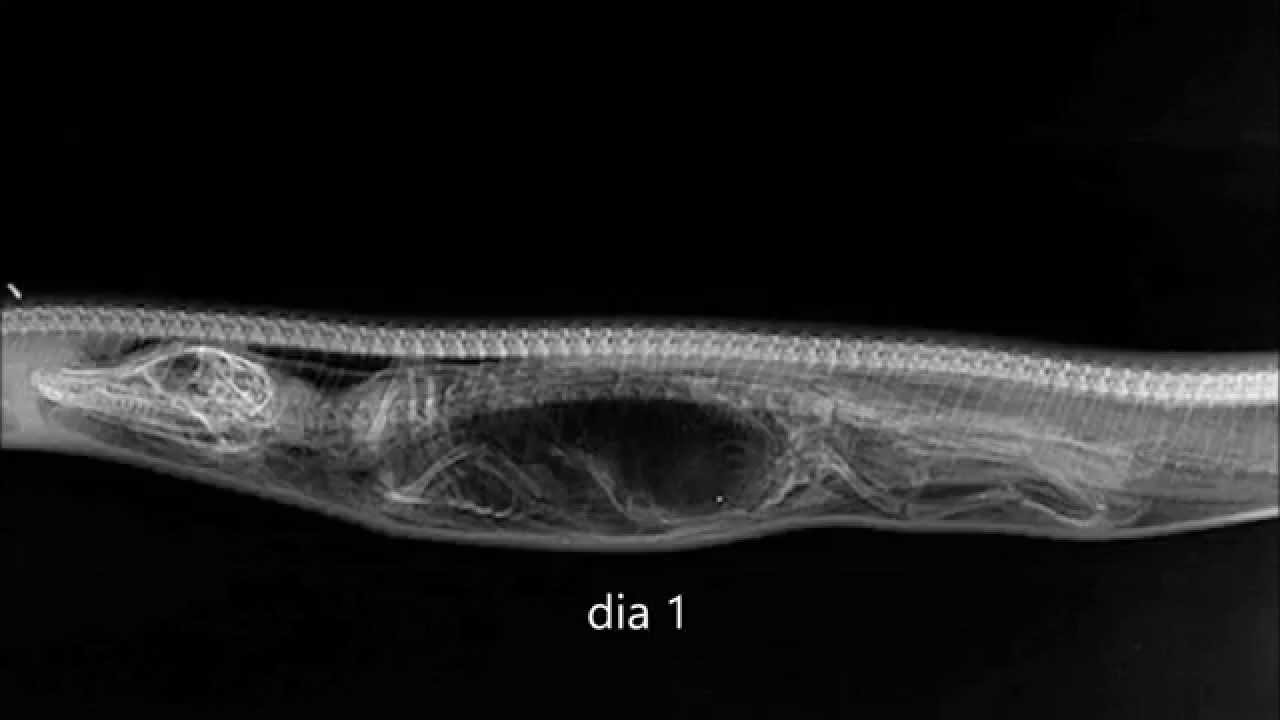 cómo digiere una serpiente pitón a un caimán entero. - YouTube