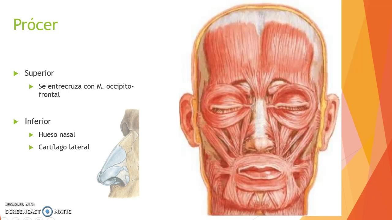Músculos faciales (parte 1 \