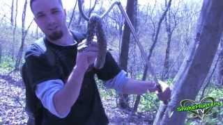 Handling Michigan s Only VENOMOUS SNAKE - Massasauga Rattlesnake