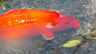 Bright Orange Koi Goldfish Swimming - Zoo Miami - Miami, Dade County, Florida